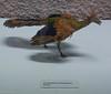 Archaeopteryx lithographica (Stuttgart) (correia.nuno1) Tags: geologia europa estratigrafia fósseis geodinâmicaexterna aves archaeopteryxlithographica stuttgart alemanha mesozóico archaeopteryx bird geologie geology