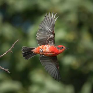 Churrinche desplegando sus alas