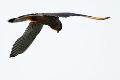 _DSC8255 -  Kestrel (steve R J) Tags: kestrel wallasea island rspb reserve essex birds british
