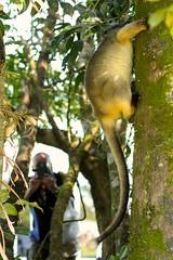 Lumholtz Tree-kangaroo and Tourist (Caleb McElrea) Tags: athertontableland farnorthqueensland wettropicsofqueensland worldheritagearea unesco queensland australia rainforest tropical hot biodiversity wildlife wildlifephotography neradateafarm lumholtztreekangaroo treekangaroo macropod arboreal cute marsupial mammal rare