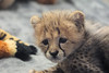 Precious (greekgal.esm) Tags: cheetah bigcat cat feline animal mammal carnivore cub babyanimal roketi sandiegozoosafaripark sandiegozoo safaripark escondido sony a77m2 a77ii