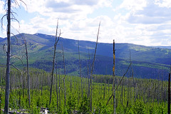 Dead forest of Yellowstone NP, USA (Andrey Sulitskiy) Tags: usa wyoming yellowstone