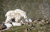 "Bed Check for Mountain Goat Kids ""in explore"" (Glatz Nature Photography) Tags: colorado mountevans mtevans nature nikond5 northamerica rockies rockymountains wildanimal wildlife glatznaturephotography mountaingoats oreamnosamericanus babyanimals kids cliff animalfamily inexplore"