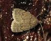 bug of the day (urtica) Tags: mylesstandishstateforest carverma carver ma massachusetts usa night bugoftheday insect moth lepidoptera erebidae idia idiadiminuendis orangespottedidia