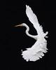 Great White Egret, Hong Kong (allengillespie.photo) Tags: egrets greatwhiteegret flight hongkong namsangwai