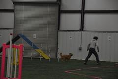 DSC_6600 (jaimekay16) Tags: dog agility k9x k9 xpress leander texas