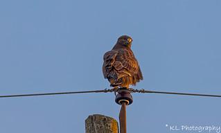 Rough-legged hawk, enjoying the sunset