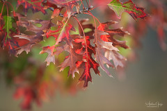 Exciting leaves #2 - LOL (Andrea Garza ~) Tags: redoak leaves leaf oak fall autumn texas texashillcountry tx newbraunfels bokeh i♥myfamily