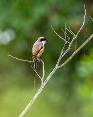 20171124-EM124766 (shutterblades) Tags: birds longtailedshrike olympusem1mkii olympusmzuiko300mmf4pro14tc seletaraerospacehub seletarwestlink