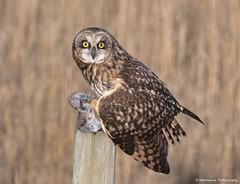 Short-eared Owl with Prey (wmckenziephotography) Tags: owl owlsofbc shortearedowl birdsofprey raptorsofbc