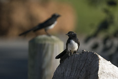 Me and My Shadow (SteveKPhotography) Tags: sony stevekphotography alpha a99ii ilca99m2 sal70400g2 bird avian animal wildlife nature outdoors fauna canningriver westernaustralia williewagtail rhipiduraleucophrys