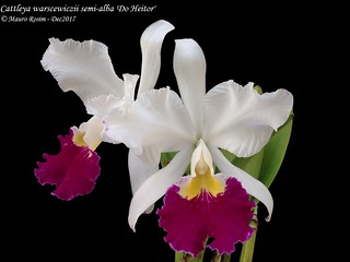 Cattleya warscewiczii semi-alba 'Do Heitor'