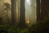 Piercing of the Heart (Bob Bowman Photography) Tags: redwoods trees forest california light fog ferns green atmosphere landscape