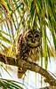 Barred Owl 12-4-2017 (1) (MParker33884) Tags: owl barred bird florida