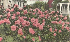 Portland roses, 1910 (912greens) Tags: roses portland postcards backyards houses 1900s