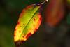 葉 (23fumi@fuyunofumi) Tags: ilce7rm3 sony 55mm aimicronikkor55mmf28s nikon nikkor leaf leaves plant macro fmount 葉 植物 ソニー ニコン α7rⅲ a7r3