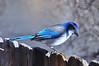 Scrub Jay (Narodnie Mstiteli) Tags: scrubjay bluecoloredbird reno nevada donbachman twinlakes