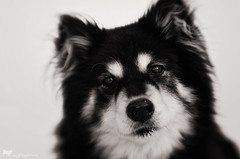 black and white 49/52 (sure2talk) Tags: blackandwhite portrait taivas finnishlapphund nikond7000 lensbaby lensbabycomposerpro lensbabylove sweet50optic flash speedlight sb900 offcamera diffused softbox we10122017 52weeksfordogs 4952