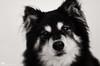 black and white 49/52 (sure2talk) Tags: blackandwhite portrait taivas finnishlapphund nikond7000 lensbaby lensbabycomposerpro lensbabylove sweet50optic flash speedlight sb900 offcamera diffused softbox we10122017 52weeksfordogs 4952