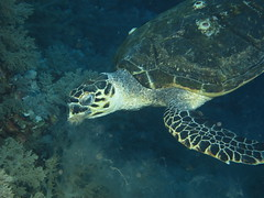 Hawksbill eating (roger_forster) Tags: eretmochelysimbricata hawksbill turtle eating soft coral underwater diving scuba flash elphinstone redsea egypt blueotwo bluemelody