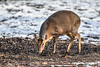 I think it's a muntjac (Paul Wrights Reserved) Tags: muntjac deer snow mammal animal nature