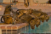 Drinking time at the pool (NettyA) Tags: 2017 africa botswana capebaboon chobebushlodge chobenationalpark papioursinus chacmababoon swimmingpool travel wildlife baboonsdrinking water animals