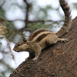More Five-Striped Palm Squirrels at Indian Institute of Management Ahmedabad (Gujarat, India - November 2017) thumbnail