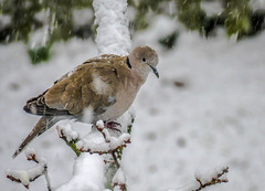 Collared Dove (donnasmith13) Tags: bird dove snow nature wildlife branch animal winter beak wild collared wing feather eurasian grey tree wood beautiful streptopelia decaocto eye garden perched ornithology collareddove cold fauna beauty tail european outdoor watching collar eurasiancollareddove sitting natural birdwatching freeze