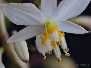 Reproductive parts of the Rengarenga Lily. NZ