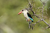 Halcyon albiventris ♂ (Brown-hooded Kingfisher) - South Africa (Nick Dean1) Tags: halcyonalbiventris kingfisher brownhoadedkingfisher animalia chordata aves thewonderfulworldofbirds birdperfect birdwatcher bird krugernationalpark southafrica