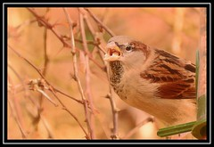 """Don't Talk With Your Mouth Full, Son...!!!"" (NikonShutterBug1) Tags: nikond7100 tamron70300mm birds ornithology wildlife nature spe smartphotoeditor birdfeedingstation bokeh birdsfeeding sparrow"