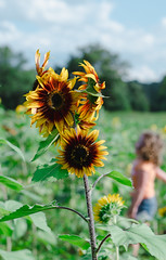 """Sunflower • <a style=""""font-size:0.8em;"""" href=""""http://www.flickr.com/photos/129579084@N06/24427067668/"""" target=""""_blank"""">View on Flickr</a>"""