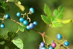 ノブドウ Porcelain berry (takapata) Tags: sony sel90m28g ilce7m2 macro berrys plant nature