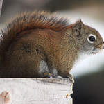 Red Squirrel in Minnesota thumbnail