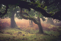 Magic Forest - Fanal, Madeira (Sebastian Bayer) Tags: moos nebel magie sträucher madeira wald natur portugal bäume fanal pflanzen urlaub omd gras magischerwald olympus omdem5ii mystisch