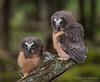 Northern Saw-whet Owl - Owlets (Turk Images) Tags: aegoliusacadicus aspenparkland borealfringe northernsawwhetowl agricultural alberta birds nsow owls strigidae thorhild