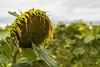State of Decay (Kevin Tataryn) Tags: flower feild farm decay rotting season fall wet rain nikon d500 1755