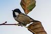293.jpg (Kico Lopez) Tags: carbonerogarrapinos miño lugo aves galicia birds periparusater spain rio
