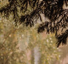 Morning Light (Peggy Skof) Tags: light sunlight nikond5200 trees dew evergreen evergreentrees forest woods outside spiderwebs webs