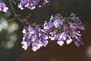 365-334 (Letua) Tags: jacaranda contraluz bokeh noviembre buenosaires lila violeta lilac flowers violet backlight backlighted