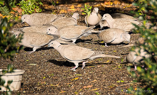 A Back Yard Full Of Turtle Doves