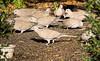 A Back Yard Full Of Turtle Doves (Romair) Tags: turtledoves eurasiancollareddoves topazsoftware rogerjohnson