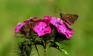 flowers n buterfly - Wesetern Himalayas ~1800m Altitude