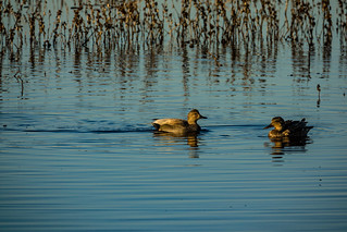Not sure which ducks these are at the Cosumnes River Preserve