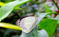 Hardly Visible (Khaled M. K. HEGAZY) Tags: nikon coolpix p520 malaysia cameronhighlands butterflyfarm nature outdoor closeup macro butterfly pierisbrassicae thelargewhite plant leaf leaves foliage green yellow blue white black