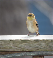 Goldfinch scouting about (Felip1) Tags: 17d6861 americangoldfinch