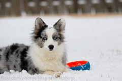 Luna First Snow 2017 3 (Kenjis9965) Tags: cardigan welsh corgi blue merle dog doge pupper doggo fluffy arctic outside snow playing canoneos7dmarkii canon70200f28l canon eos 7d mark ii 70200mm f28 is l usm cute sweet