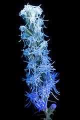 Liatris Spicata 1 s (C. Burrows) Tags: uvivf flower botany nature