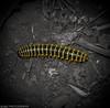 Gusanini (josuevelazquez) Tags: gusano insecto animal