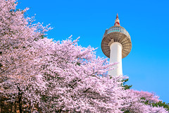 Seoul tower and pink cherry Blossom, Sakura season in spring,Seoul in South Korea. (Very Vietnamese (nkl2k3)) Tags: netdepviet sakura seoul closeup tree blossoming blooming soft natural oriental floral white spring jinhae flower blossom bloom tenderness springtime korea season pink flora cherry focus garden close april festival blur fruit beautiful background fresh branch nature detail botany freshness seoultower namsan namsanmountains n